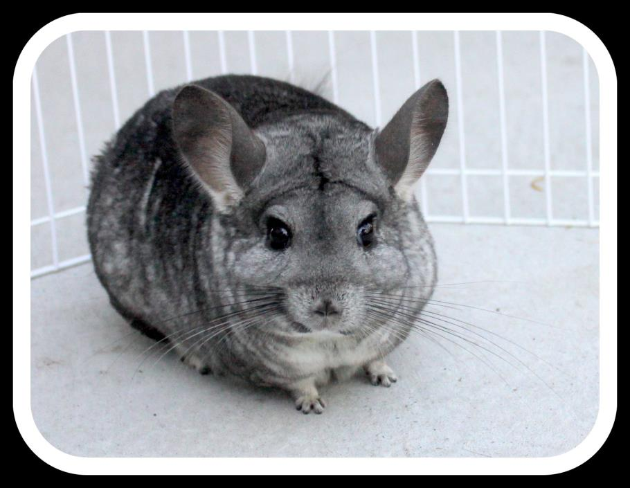 Adopt Sissy a Silver or Gray Chinchilla small animal in Britton, MI (20697963)