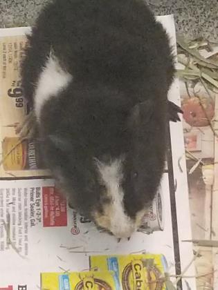 Adopt Fable 2 a Guinea Pig