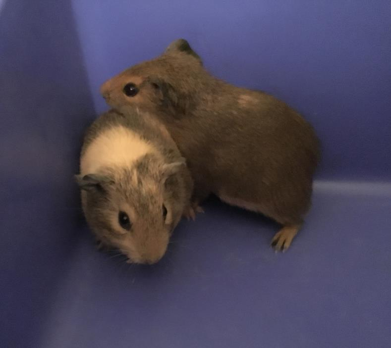 Adopt Aaron and Clay a Guinea Pig