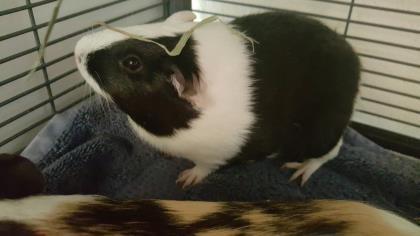 Adopt Dice a Guinea Pig