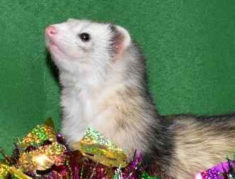 Adopt Archie & Clarence a Ferret