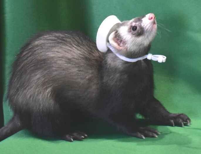 Adopt John Oliver a Ferret