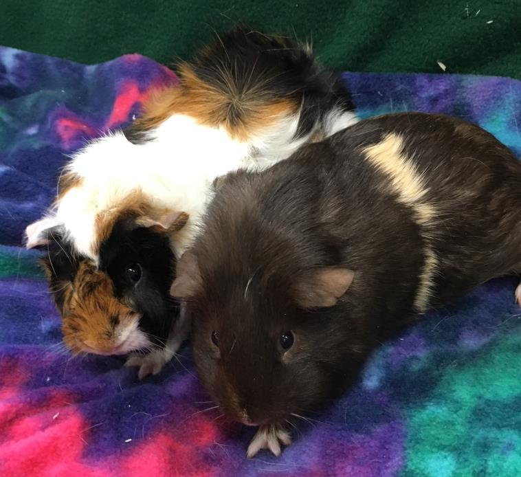 Adopt Hot Chocolate & Mini Marshmallow a Abyssinian, Short-Haired