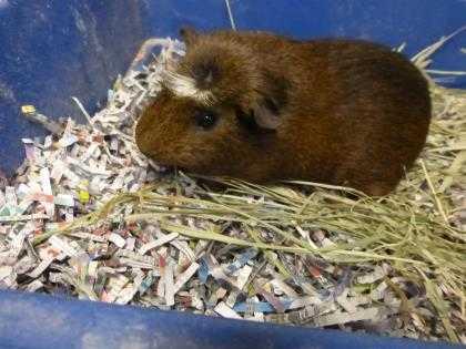 Adopt Uganda a Brown or Chocolate Guinea Pig / Mixed (short coat) small animal