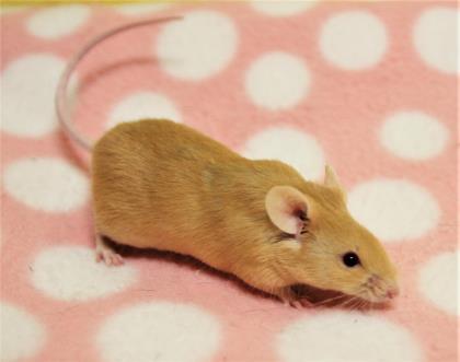 Adopt Benbrook~ Miles a Mouse