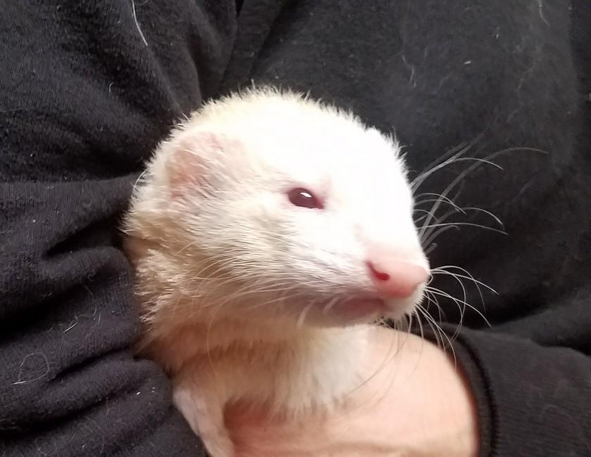 Adopt ANITA a White Ferret small animal in Brandy Station, VA (20551042)