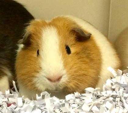 Adopt Hay a Buff Guinea Pig / Mixed small animal in Harrisonburg, VA (20554205)