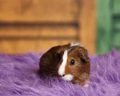 Adopt Bricks a Brown or Chocolate Guinea Pig / Mixed small animal in