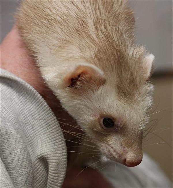 Adopt Hammy a Ferret