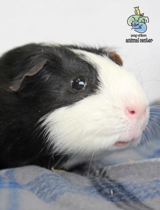 Adopt Ricky a Guinea Pig
