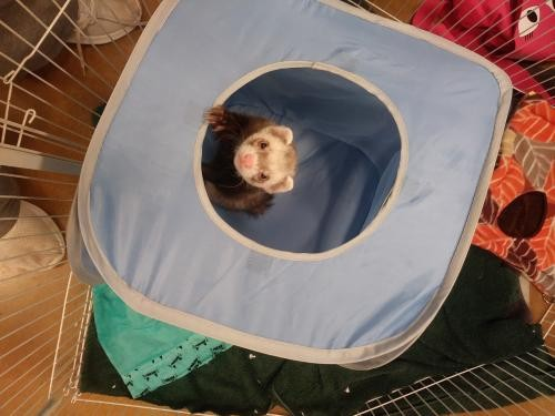Adopt Benny a Sable Ferret small animal in Aurora, IL (20705615)