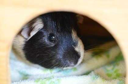 Adopt Copper C17 a White Guinea Pig / Guinea Pig / Mixed small animal in