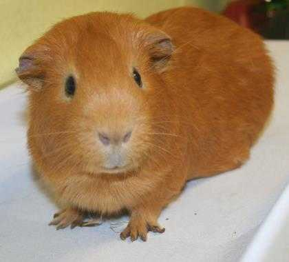 Adopt Nugget a Tan or Beige Guinea Pig / Guinea Pig / Mixed small animal in