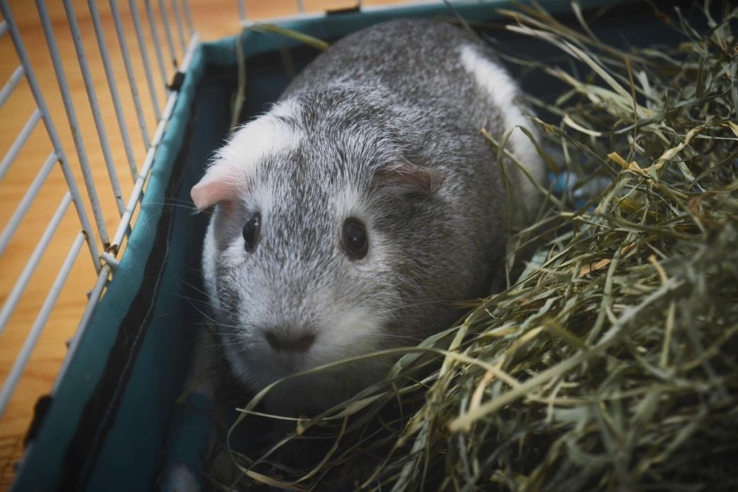 Adopt Luna a Silver or Gray Guinea Pig (short coat) small animal in Grand