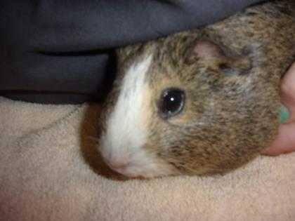 Adopt Thelma a Brown or Chocolate Guinea Pig / Guinea Pig / Mixed small animal