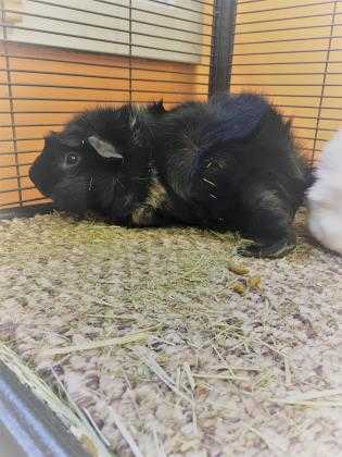 Adopt Felix a Black Guinea Pig / Mixed small animal in Worcester, MA (20533762)