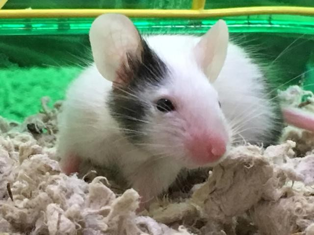 Adopt Stuart Little a Mouse small animal in Virginia Beach, VA (20511231)