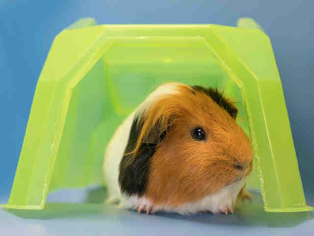 Adopt BUGZEE a Guinea Pig