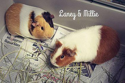 Adopt Laney a Guinea Pig