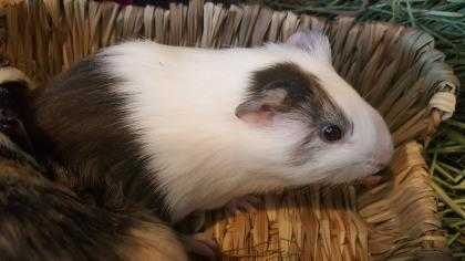 Adopt Chip a Silver or Gray Guinea Pig / Guinea Pig / Mixed small animal in