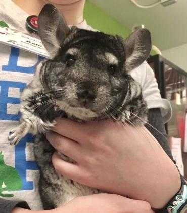 Adopt Pikachu a Silver or Gray Chinchilla / Mixed small animal in Seattle