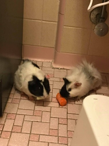 Adopt Millie and Teddy ***bonded pair*** a Guinea Pig