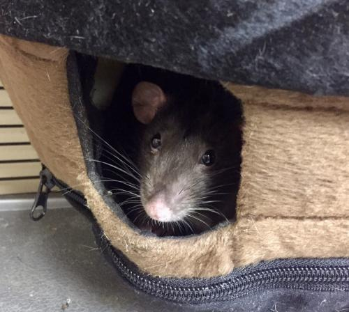 Adopt 1801-1581 and 1801-1582 Lydia and Wednesday a Rat