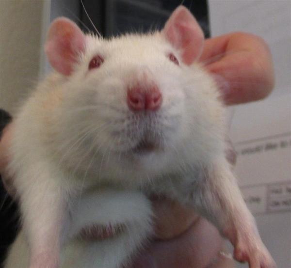 Adopt Margaret a Rat