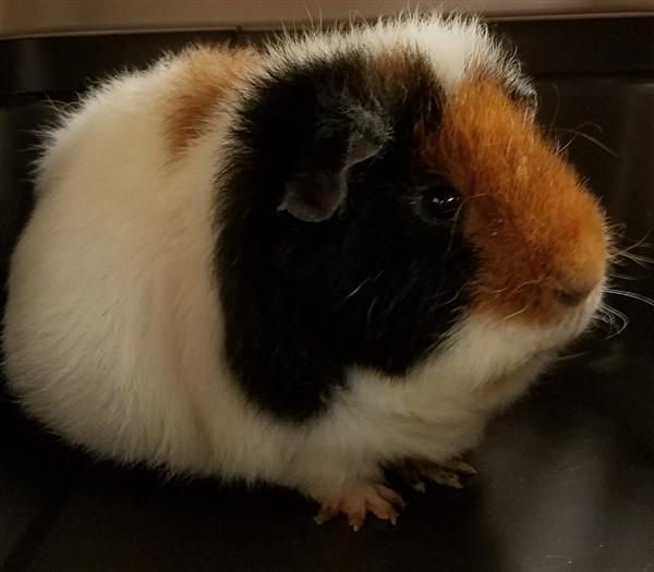 Adopt Jelly Bean a Guinea Pig