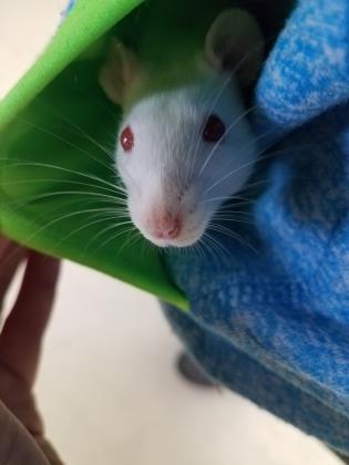 Adopt Nicole a Rat