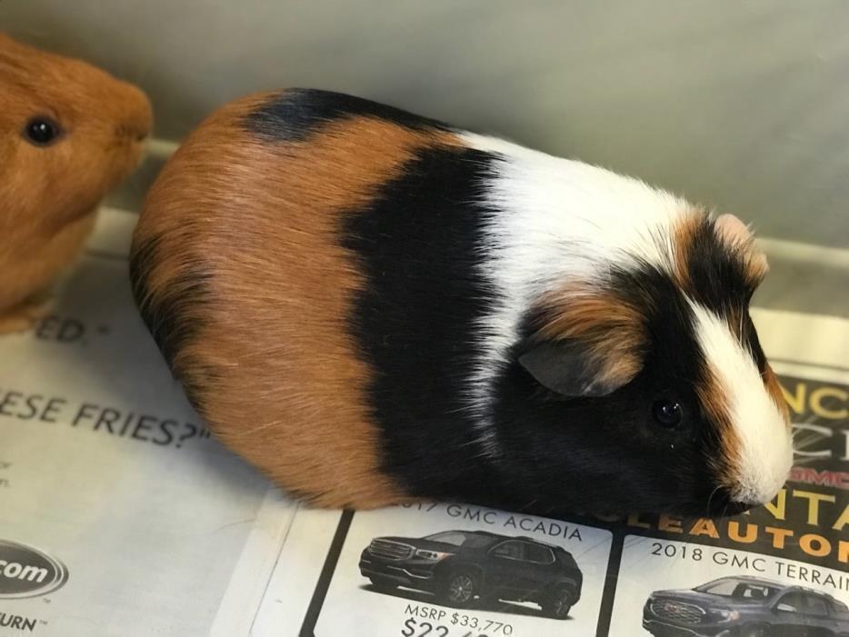 Adopt Hammy, Champ a Guinea Pig