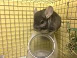 Adopt Vance a Chinchilla