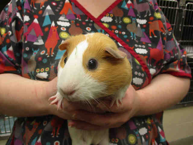 Adopt CASTLE a Guinea Pig