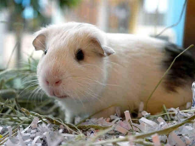 Adopt SQUISHY a Guinea Pig