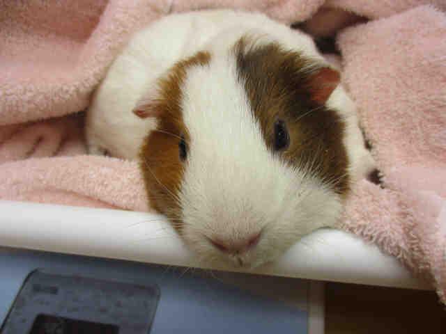 Adopt GUINEVERE a Guinea Pig