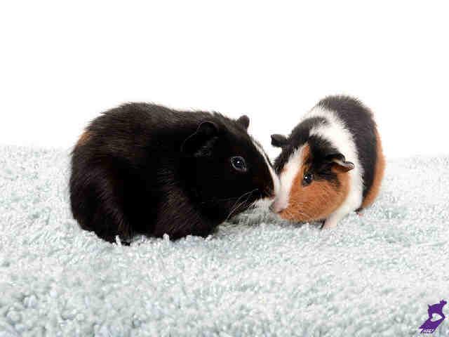 Adopt TANNER a Guinea Pig