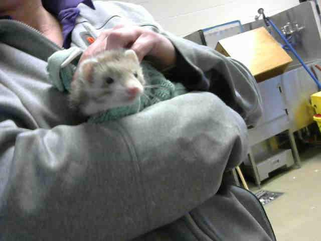 Adopt A282451 a Ferret