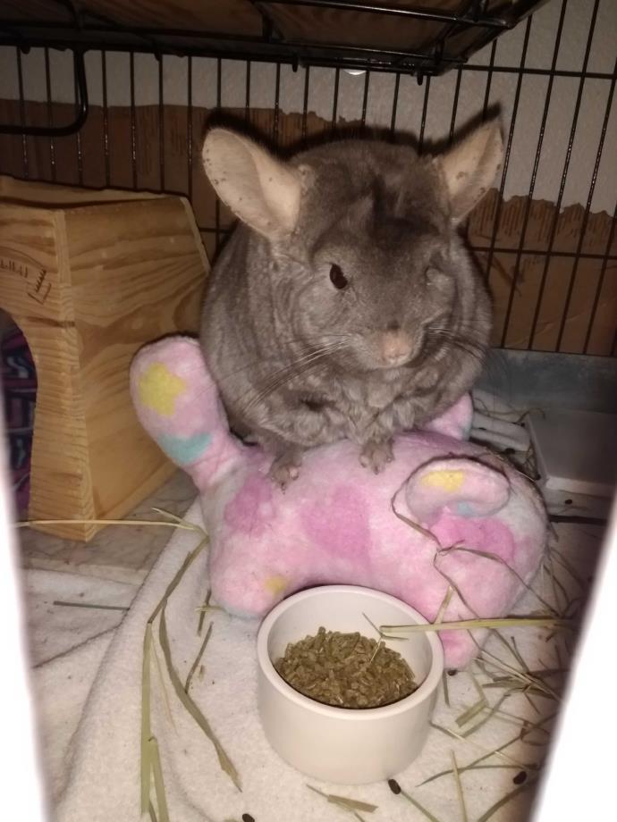 Adopt Teeny a Chinchilla small animal in Avondale, LA (20522370)