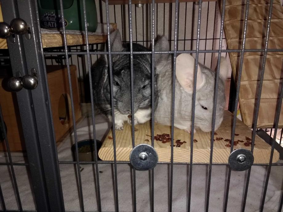Adopt Mama & Provo a Chinchilla small animal in Avondale, LA (20522267)