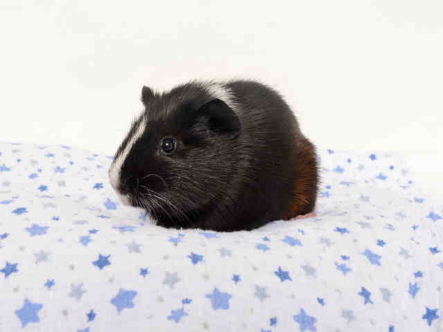 Adopt JERSEY a Guinea Pig
