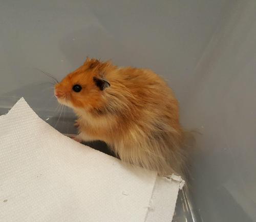 Adopt Fabio a Hamster