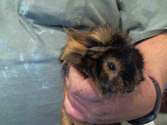Adopt COCONUT a Guinea Pig