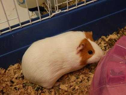 Adopt Su a White Guinea Pig / Mixed small animal in Watertown, WI (20516838)