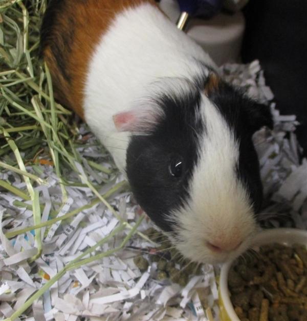 Adopt Ken a Guinea Pig