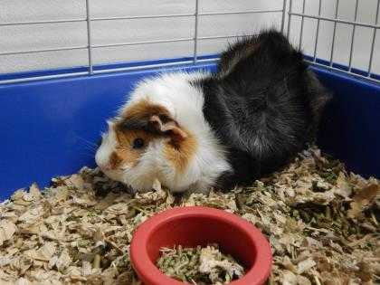 Adopt Mushu a White Guinea Pig / Mixed small animal in Watertown, WI (20516862)