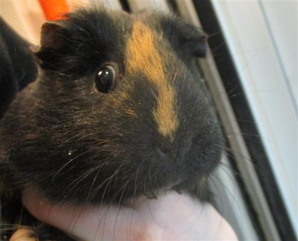 Adopt Marley a Guinea Pig