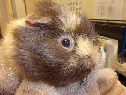 Adopt Tobuae a Brown or Chocolate Guinea Pig / Guinea Pig / Mixed small animal