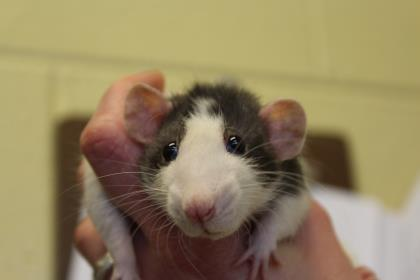 Adopt Pauline a Rat