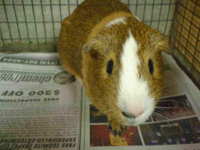 Adopt GRIZZLY a Guinea Pig