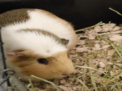 Adopt A1902151 a Guinea Pig
